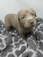 Labrador Retriever Puppy For Sale in CENTRAL CITY, PA, USA