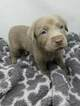 Labrador Retriever Puppy For Sale in CENTRAL CITY, Pennsylvania,