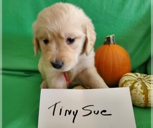 Golden Retriever Puppy for sale in NORTH UNION, PA, USA