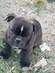 Olde English Bulldogge Puppy For Sale in BEAVERTON, OR, USA