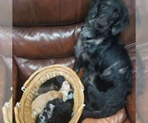 Mother of the Goldendoodle puppies born on 09/01/2019