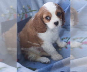 Cavalier King Charles Spaniel Puppy for sale in MILWAUKEE, WI, USA