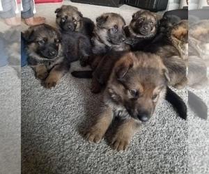 German Shepherd Dog Puppy for sale in JONES, MI, USA