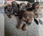 7 AKC German Shepherd Puppies 4 weeks old