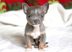 Chihuahua Puppy For Sale in MOUNT JOY, PA, USA