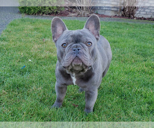 French Bulldog Puppy for Sale in MARYSVILLE, Washington USA