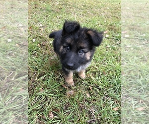 German Shepherd Dog Puppy for sale in AUBURNDALE, FL, USA