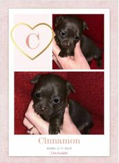 Chihuahua Puppy for sale in HENDERSON, NC, USA