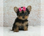 Adorable Yorkie Puppies Read to go