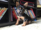Yorkshire Terrier Puppy For Sale in MANSFIELD, OH