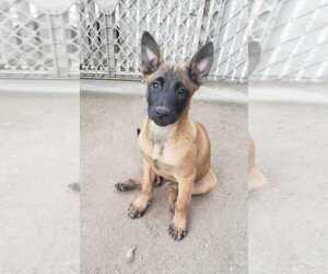 Belgian Malinois Puppy for sale in SAN BERNARDINO, CA, USA