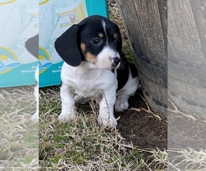 Dachshund Puppy for sale in FALKVILLE, AL, USA