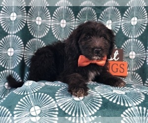 Miniature Labradoodle Puppy for sale in LAKELAND, FL, USA