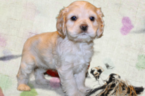 Cocker Spaniel Puppy For Sale in TERRY, MS