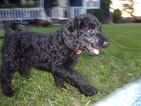 Labradoodle Puppy For Sale in LEBANON, OH, USA