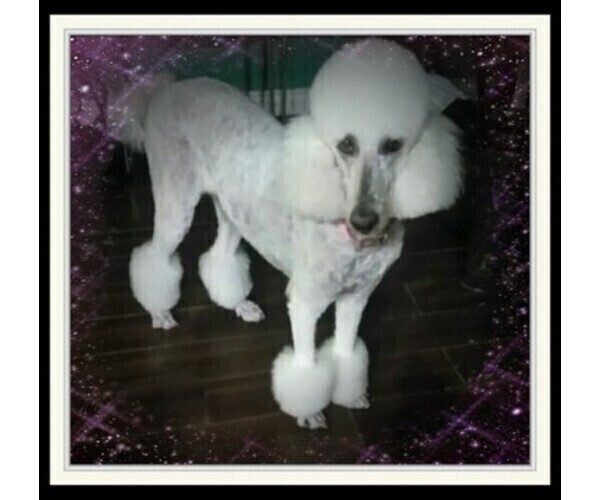 PuppyFinder com - View Ad: Mother Photo of Listing