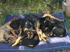Treeing Walker Coonhound Puppy For Sale in POCATELLO, ID, USA
