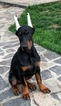 Top quality European Dobermann puppy