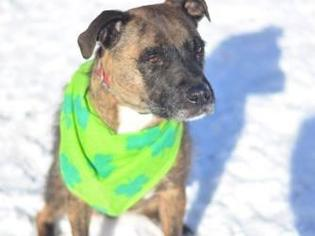 Xander - German Wirehaired Pointer / Boxer / Mixed Dog For Adoption