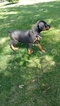 Doberman Pinscher Puppy For Sale in COKATO, MN, USA