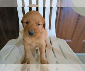 Golden Retriever Dog for Adoption in KALAMAZOO, Michigan USA