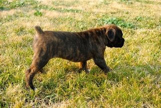Boxer Puppy For Sale in BOISE, ID, USA