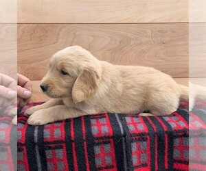 Golden Retriever Puppy for sale in KINZERS, PA, USA