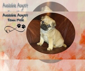 Pug Puppy for sale in BRIDGETOWN, OH, USA
