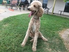 Poodle (Standard) Puppy For Sale in KEMP, Texas,