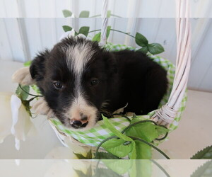 Border Collie Puppy for sale in SAGINAW, MI, USA
