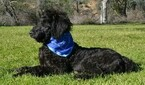 Labradoodle Puppy For Sale in CLE ELUM, WA, USA
