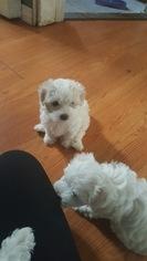 Maltese Puppy For Sale in EAST ELMHURST, NY