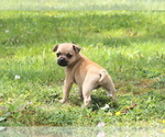 Puppy 7 Puggat