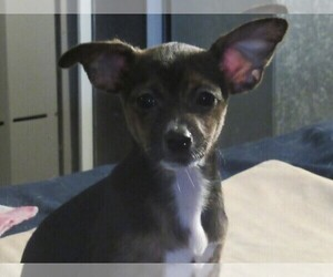 Chi-Corgi-Chihuahua Mix Puppy for sale in SAINT ALBANS, WV, USA