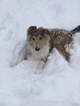 Collie Puppy For Sale in DYER, Indiana,