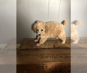 Poodle (Toy) Puppy for sale in STARK CITY, MO, USA