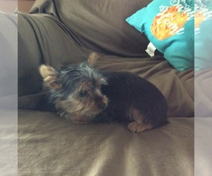 Yorkshire Terrier Puppy for Sale in BOWLING GREEN, Missouri USA
