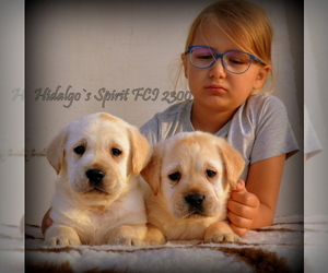 Labrador Retriever Dog for Adoption in Bucharest, Bucuresti Romainia