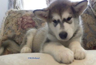 Alaskan Malamute Puppy For Sale in CAPRON, VA, USA