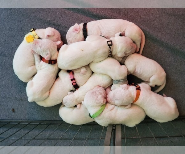 Medium Photo #1 Dogo Argentino Puppy For Sale in KATY, TX, USA