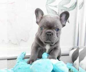American French Bull Terrier Puppy for sale in MANASSAS, VA, USA