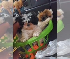 Shih Tzu Puppy for sale in WEST COVINA, CA, USA