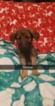 Puppy 0 German Shepherd Dog-Goldendoodle Mix