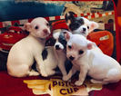 Chihuahua Puppy For Sale in JOHNSTOWN, PA, USA