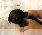 Small #18 Poodle (Miniature)-Soft Coated Wheaten Terrier Mix