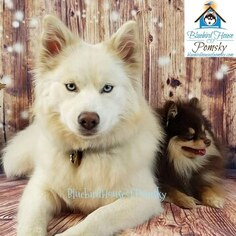 Mother of the Pomsky puppies born on 02/22/2019