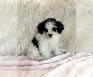 Poodle (Toy) Puppy for sale in JONESTOWN, PA, USA