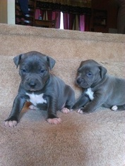 American Pit Bull Terrier Puppy For Sale in MARTINSBURG, WV