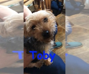 Father of the Morkie-Yorkshire Terrier Mix puppies born on 06/02/2019