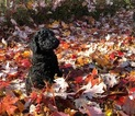 Poodle (Standard) Puppy For Sale in PINE RIVER, WI, USA
